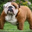 Boxer, Bull Terrier...cani cambiano in 100 anni per colpa4