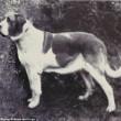 Boxer, Bull Terrier...cani cambiano in 100 anni per colpa