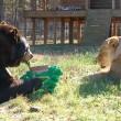 Orso, tigre e leone inseparabili: vivono insieme nel rifugio10