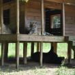 Orso, tigre e leone inseparabili: vivono insieme nel rifugio11