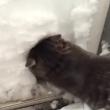 VIDEO YOUTUBE Gatto Boots si costruisce un igloo nella neve 2