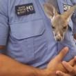 VIDEO, FOTO Agente trova cucciolo di canguro e lo adotta6