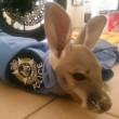VIDEO, FOTO Agente trova cucciolo di canguro e lo adotta2