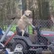Cane guida trattorino e distrae troupe tv che filma tornado01