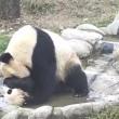 Cucciolo panda cerca di evitare il bagnetto