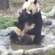 Cucciolo panda cerca di evitare il bagnetto 2