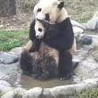 Cucciolo panda cerca di evitare il bagnetto 4