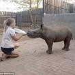 Baby rinoceronte dorme sulle gambe della veterinaria8