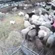 Pecore affamate4