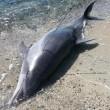Sardegna, delfino ucciso da sub e fatto a pezzi FOTO 4