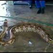 YouTube: pitone da record in Malesia, lungo oltre 7 metri3