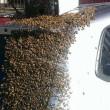 Ape regina nel bagagliaio: 20mila insetti su auto8