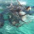 Balena divorata da 70 squali tigre, drone riprende5