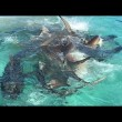 Balena divorata da 70 squali tigre, drone riprende8