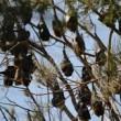 Centomila pipistrelli invadono cittadina australiana4