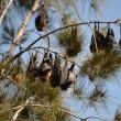 Centomila pipistrelli invadono cittadina australiana2