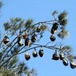 Centomila pipistrelli invadono cittadina australiana7
