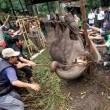 Elefantessa con zampe legate piange prima di morire3