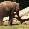 Elefantino sdraiato a terra, la mamma chiede aiuto
