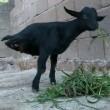 La capra con due zampe che riesce a fare tutto 9
