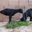 La capra con due zampe che riesce a fare tutto 7