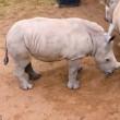 Latte finito, rinoceronti cuccioli piangono 2