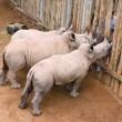 Latte finito, rinoceronti cuccioli piangono 5