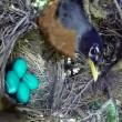Uova uccello nel nido serpente arriva e se le ruba 4