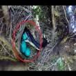 Uova uccello nel nido serpente arriva e se le ruba 3