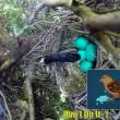 Uova uccello nel nido serpente arriva e se le ruba 2
