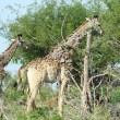 Giraffa malata, poggia collo su albero per mangiare 3