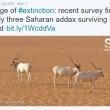 Antilopi, ultime 3 nel deserto: addax verso estinzione FOTO