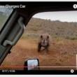 Rinoceronte nero non ama essere fotografato e punta l'auto 6