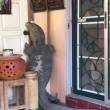 VIDEO Lucertola gigante davanti alla porta di casa