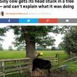 Mucca con testa incastrata in albero. Per salvarla... FOTO