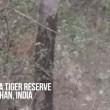VIDEO YOUTUBE Tigre del Bengala contro leopardo: chi vince? 3