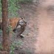 VIDEO YOUTUBE Tigre del Bengala contro leopardo: chi vince? 4