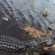 Alligatore si avvicina alla barca dei turisti in Florida 5