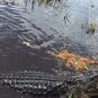 Alligatore si avvicina alla barca dei turisti in Florida 4
