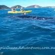 YOUTUBE Megattera intrappolata nella rete da pesca chiede aiuto a canoisti 5