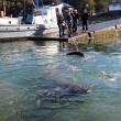Cile: squalo lungo 5 metri impigliato nella rete2