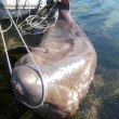 Cile: squalo lungo 5 metri impigliato nella rete
