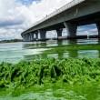 Florida, invasione di alghe verdi guacamole2
