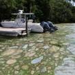 Florida, invasione di alghe verdi guacamole6
