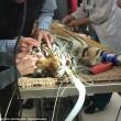 Indira, la tigre del Bengala operata di cataratta4