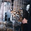 Indira, la tigre del Bengala operata di cataratta