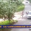 VIDEO YOUTUBE Donna uccisa da tigre in un parco naturale in Cina 02