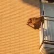 Cane chiuso in balcone senza acqua e cibo5