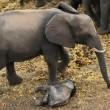 Elefantino ha zampa ferita: la mamma non lo lascia mai3