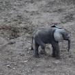Elefantino ha zampa ferita: la mamma non lo lascia mai1
